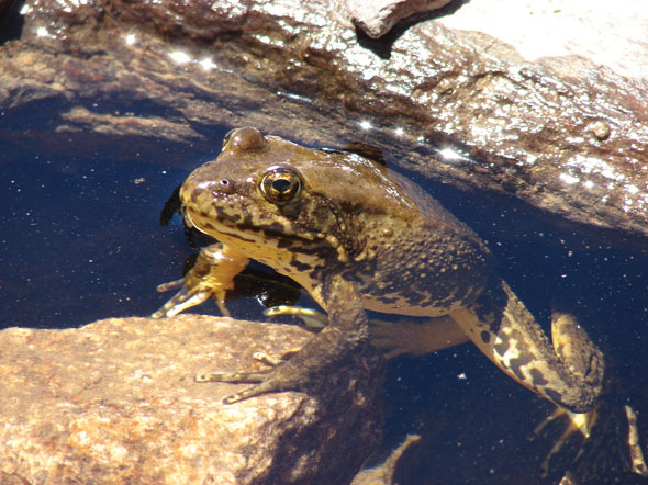 MountainYellow-legged-Frog—Rick-Kuyper-USFWS