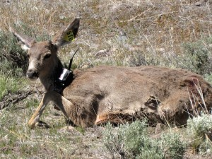 A collared deer resting along its Sierra migration route. Courtesy Photo, California Fish & Game